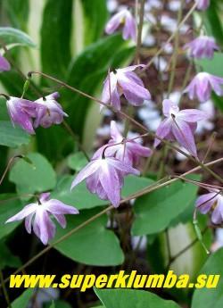 """ГОРЯНКА ГИБРИДНАЯ  """"Сасаки"""" (Epimedium Sasaki)  Цветы крупным планом. НОВИНКА!   ЦЕНА 800 руб (1 делёнка)"""