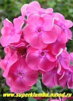 Флокс метельчатый ВЮРТЕМБЕРГИЯ  син. ЖЮЛЬ САНДО  (Phlox paniculata Württembergia syn. 'Jules Sandeau')  Пфитцер 1919, С, 70/4, Яркие очень красивого лососево-розового цвета с посветлением в центре и небольшим малиновым глазом цветы, неприхотливый, устойчивый.  200 руб (1 шт)  или 400 руб (кустик: 3-4 шт)