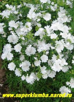 """ПРОСВИРНИК МУСКУСНЫЙ """"Белое совершенство"""" (Malva moschata) , округлые кусты с ажурными пальчато-рассеченными, опушенными листьями и крупными белоснежными цветами. цветет июнь-август, высота до 60см, ЦЕНА 150-200 руб (делёнка)"""