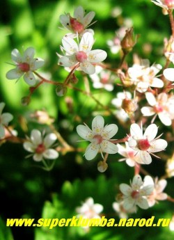 """цветы КАМНЕЛОМКИ ТЕНИСТОЙ """"Ауреапунктата"""" (Saxifraga x urbium ''Aureopunctata'' ) крупным планом. Цветы камнеломки тенистой и камнеломки тенистой ауреапунктата практически не отличаются друг от друга. ЦЕНА 200 руб (3 розетки)"""