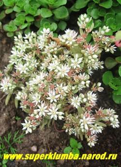 "на фото цветет ОЧИТОК ИСПАНСКИЙ вар. ""Испанский"" (Sedum hispanicum var. hispanicum) однолетний. ЦЕНА 100 руб (1деленка)"