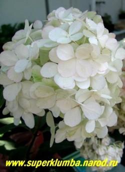 """ГОРТЕНЗИЯ МЕТЕЛЬЧАТАЯ """"Ванилла Фрайз"""" (Hydrangea paniculata """"Vanille Fraise"""") Огромные соцветия из очень крупных стерильных цветов, сначала сливочно-белых, затем быстро розовеющих и к концу цветения становящихся тёмно-красными, оттенки зависят от места, погодных условий и почвы, цветёт в июле-сентябре, куст высотой 150 см. ЦЕНА 400-1500 руб (3-6 летка) НЕТ НА ВЕСНУ"""