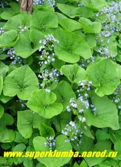 БРУННЕРА СИБИРСКАЯ или НЕЗАБУДОЧНИК (Brunnera sibirica), неприхотливое теневыносливое растение , над сердцевидными листьями возвышаются голубые похожие на незабудки цветы, высота 20-30см., цветет май-июнь  ЦЕНА 150 руб (2 шт)