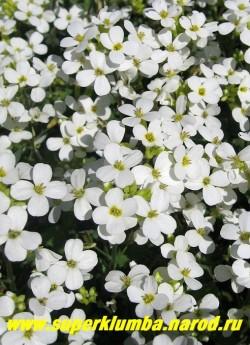 """АРАБИС КАВКАЗСКИЙ ''Шнеехаубе'' (Arabis caucasica """"schneehaube""""). Цветы крупным планом . Арабис и обриету для более пышного цветения желательно омолаживать примерно раз в 3 года. ЦЕНА 150-200 руб   (1 дел)"""