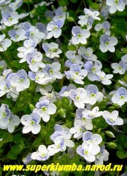 ВЕРОНИКА НИТЕВИДНАЯ (Veronica filiformis) стелящиеся стебли во время цветения сплошь покрытые бледно-голубыми цветами , так что не видно листвы, высота 5 см, цветет май-июнь , ЦЕНА 150 руб (1 дел)