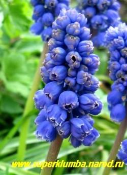 """МУСКАРИ АРМЯНСКИЙ """"Арника"""" (Muscari armeniacum """"Arnica"""")  сорт с махровыми цветами собранными в плотные соцветия стрелки. Обладают приятным, сильным ароматом, высота 10-15см, цветет май. ЦЕНА 150 руб (5 шт)"""