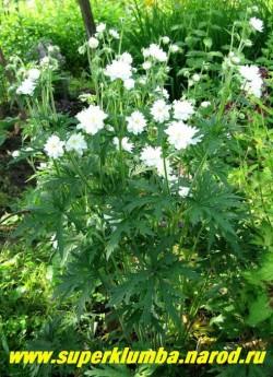 """ГЕРАНЬ ЛУГОВАЯ """"Дабл Джевел""""(Geranium pratense ''Double Jewel'') продолжительное цветение с середины июня в течении 30-35 дней. Ажурная сильнорассеченная темнозеленая листва. ЦЕНА 300 руб (1 шт)"""