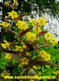 Цветы ВЕРБЕЙНИКА ПУРПУРНОГО ФАЙРКРЕКЕР  (Lysimachia purpurea = L. ciliata)  Лимонно-желтые цветочки с красным глазком образуются на концах стеблей и в пазухах верхних листьев, формируя рыхлое соцветие. ЦЕНА 200 руб (3 шт)