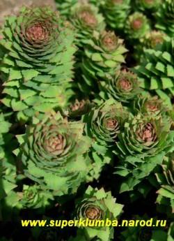 РОДИОЛА РОЗОВАЯ или ЗОЛОТОЙ КОРЕНЬ (Rhodiola rosea) Декоративна и весной ,благодаря красивым розеткам и летом когда цветет, высота до 30см, цветет июнь, Красиво смотрится на горке, и в рокарии. ЦЕНА 250 руб (1 дел)  НЕТ НА ВЕСНУ