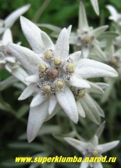 соцветие ЭДЕЛЬВЕЙСА АЛЬПИЙСКОГО (Leontopodium alpinum) крупным планом. Цветочные корзинки окружены декоративными серебристо-белыми листьями, образуют подобие белой звезды. ЦЕНА 200-250 руб (деленка)