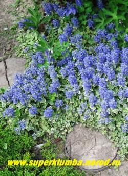 """серебристо-голубым ковром цветет ЖИВУЧКА ПОЛЗУЧАЯ """"Вариегата"""" (Ajuga reptans ''Variegata'') в моем саду. ЦЕНА 150 руб (делёнка)"""