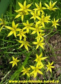 ЛУК ГУСИНЫЙ или ГАГЕЯ ЖЕЛТАЯ (Gagea lutea) можно сажать на альпийские горки, его мелкие луковички , во избежание нежелательного распространения , нуждаются в ограничивающей емкости, цветет май, высота 10-12см
