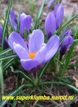 """КРОКУС ВЕСЕННИЙ (Crocus vernus) """"крупноцветковый лиловый с желтыми тычинками"""", цветет апрель-май, ЦЕНА 100 руб (4 шт)"""