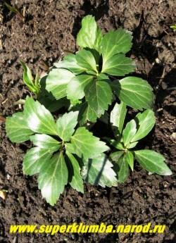 ПАХИЗАНДРА ВЕРХУШЕЧНАЯ (Рachysandra terminalis) вечнозеленый полукустарничек с плотными кожистыми листьями. Образует со временем плотные декоративные покровы высотой 20-30 см. Неприхотливо, зимостойко.  Тень-полутень. ЦЕНА 150-200 руб. (1дел)