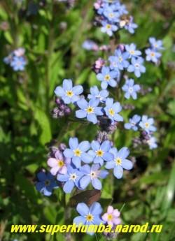 НЕЗАБУДКА ЛЕСНАЯ (Myosotis sylvatica) цветы крупным планом. ЦЕНА 100 руб