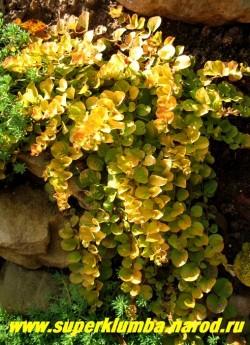 """ВЕРБЕЙНИК МОНЕТЧАТЫЙ """"Ауреа"""" (Lysimachia nummularia ''Aurea'') стелющиеся побеги с золотистыми листочками размером с мелкую монету , длиной до 30см, в июне цветет желтыми цветами, очень украшает горку, ЦЕНА 200 руб"""