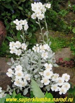 цветущий кустик ТЫСЯЧЕЛИСТНИКА СЕРЕБРЯНОГО (Achillea argentia) Красив на горке и на переднем крае бордюра. Разрастается медленно. ЦЕНА 300 руб