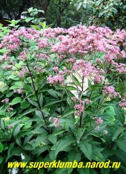 """ПОСКОННИКИ (Eupatorium) , высокие до 180 см стебли с крупными пушистыми дымчато-розовыми или белыми соцветиями из мелких цветочков появляющихся в конце июля. Отцветшие соцветия тоже декоративны, особенно в сухих букетах. Все сорта ПОСКОННИКОВ представлены на странице """"ДАРМЕРА, ВАТОЧНИКИ, ПОСКОННИКИ, КЛОПОГОН, КРОВОХЛЕБКИ, РОДЖЕРСИЯ и др""""."""