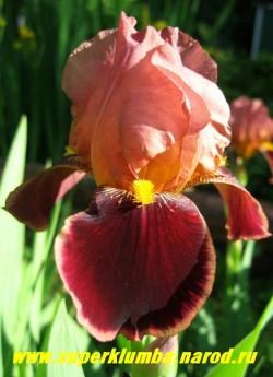 """Ирис БРАЗЬЕ или """"Шоколадница"""" (Iris Brasier)  розовые верхние и бархатно коричневые нижние лепестки, золотая бородка, с ароматом шоколада! Цветет июнь-июль, высота до 70 см, ЦЕНА 150 руб (1 шт)"""