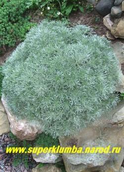 """ПОЛЫНЬ ШМИТТА """"НАНА"""" ( Artemisia Schmidtiana Nana)  чрезвычайно декоративная ажурная серебристо-голубая листва на кустику в форме  шарика, идеальна для горок, солнцелюбива, не любит застоя воды, высота 15-20см. ЦЕНА 250 руб"""