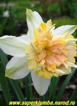 """Нарцисс """"ПЕТИТ ФОР"""" (Narcissus """"Petit Four"""") Нарцисс с махровой трубкой. Околоцветник зеленовато-белый. Коронка крупная, плотно набита розово-кремовыми выростами, с длинными """"рогами"""", которые добавляют экзотики этому цветку. долгоцветущий,  Cрок цветения среднепоздний. ЦЕНА 150 руб (1 шт)"""