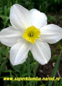 """Нарцисс """"ВАЙТ ЛЕДИ"""" (Narcissus """"White Lady"""") Классический раритетный нарцисс, сорт датирован 1897г. Сверкающие белые околоцветники с гофрированной лимонной чашечкой. Самый ранний с сильным ароматом, крайне неприхотливый, высота до 50 см, ЦЕНА 100 руб (5 шт)"""