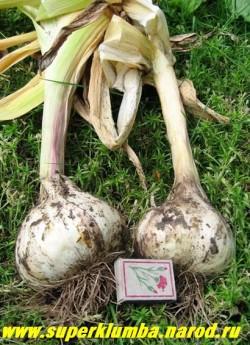 ЛУК АФЛАТУНСКИЙ (Allium aflatunense)  его огромные луковицы также идут в пищу. ЦЕНА 100-150 руб (1 лук)