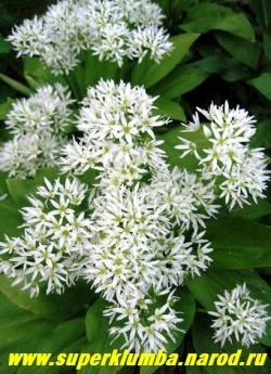 ЛУК МЕДВЕЖИЙ или ЧЕРЕМША (Allium ursinum)  с цветами чрезвычайно декоративна, может расти в глубокой тени под деревьями и кустарниками. ЦЕНА 200 руб (5 лук)