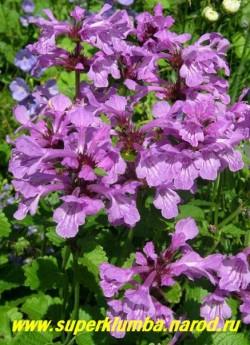 цветы БУКВИЦЫ КРУПНОЦВЕТКОВОЙ (Betonica grandiflora) крупным планом. Цветки с двугубым венчиком, сиреневой окраски . Цветение приходится на конец июня — начало июля и продолжается 2-3 недели. ЦЕНА 150 руб