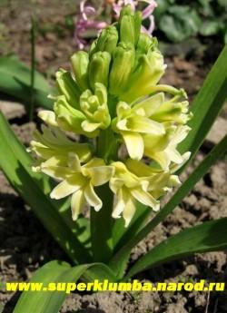 """Гиацинт восточный """"СИТИ ОФ ХАРЛЕМ"""" (Hyacinthus orientalis """"City of Haarlem"""") , Лимонно-желтый, высота 12-15 см, цветет май. НЕТ В ПРОДАЖЕ"""