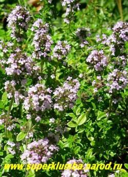 ТИМЬЯН ОБЫКНОВЕННЫЙ или ЧАБРЕЦ, (Thymus vulgaris) пряность, декоративное растение. Подушковидный полукустарничек с полулежачими стеблями и приподнимающимися цветоносными побегами с сиреневыми цветами, высота 10-15 см, цветет обильно в июне-июле   НЕТ В ПРОДАЖЕ