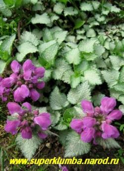 """ЯСНОТКА КРАПЧАТАЯ """"Бекон сильвер"""" (Lamium maculatum """"Beacon Silver""""), Почвопокровное растение с лежачими, сильно ветвящимися стеблями , серебряные листья с тонкой зеленой каймой по краю, крупные тёмно-пурпурные цветы, цветет май-июнь, высота 5-10 см, с цветоносами до 20 см. ЦЕНА 150-200 руб (1дел)"""