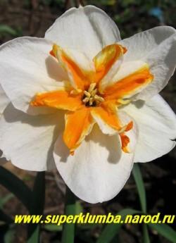 """Нарцисс """"ТРЕПОЛО"""" (Narcissus """"Trepolo"""") разрезнокорончатый, Широкие белые лепестки и шикарную бабочковидную белую сплит-корону с оригинальной оранжево-апельсиновой полосой в центре, высота до 50 см,  НЕТ В ПРОДАЖЕ"""