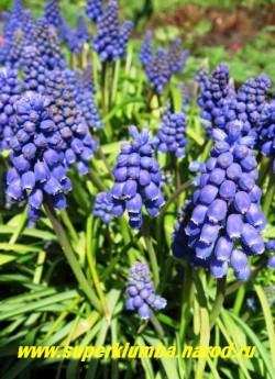 МУСКАРИ АРМЯНСКИЙ (Muscari armeniacum)  синие цветы собраны в плотные верхушечные, кистевидные соцветия 6-8 см длиной. Высота 10-15 см, цветет в мае 20-25 дней. ЦЕНА 150 руб (6 шт)