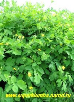 ЧИСТОТЕЛ БОЛЬШОЙ (Chelidonium majus) его сок избавит от бородавок, мозолей и папиллом, а отвар из травы можно принимать только по назначению врача, высота до 70 см. ЦЕНА 100 руб (2 шт)