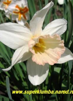 """Нарцисс """"ПИНК ЧАРМ"""" (Narcissus """"Pink Charm"""") Крупнокорончатый нарцисс с белоснежными лепестками околоцветника и с крупной розовой гофрированной коронкой, высота 45-60 см, диаметр до 15 см. ЦЕНА 100 руб (1 шт)  НЕТ НА ВЕСНУ"""