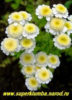 """ПИРЕТРУМ ДЕВИЧИЙ """"Сноу драфт"""" (Matricaria eximia """"Snow Draft"""") соцветия лимонно-белые округлые, имеют юбочку из белых коротких, широких язычковых цветков, диаметром 2,5см, высота 30-40 см, цветет июль-август. НЕТ  В ПРОДАЖЕ"""