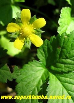 цветы ДУШЕНЕИ или ИНДИЙСКОЙ ЗЕМЛЯНИКИ (Duchesnea indica) крупным планом, цветет и плодоносит все лето. Ягоды неядовиты , но совершенно безвкусны.ЦЕНА 200 руб (2-3 шт)