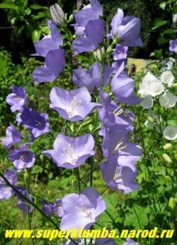 """КОЛОКОЛЬЧИК ПЕРСИКОЛИСТНЫЙ """"ГОЛУБОЙ""""  (Campanula persicifolia), красивый и неприхотливый голубой срезочный колокольчик, цветет июнь-июль, высота 60-80 см, ЦЕНА 150 руб (1 дел)"""