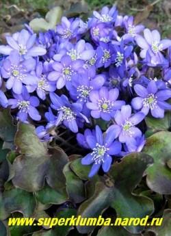 ПЕЧЕНОЧНИЦА БЛАГОРОДНАЯ (Hepatica nobilis)  красивейшее вечнозеленое весеннецветущее растение формирующее аккуратный кустик высотой до12 см, листья трехлопастные кожистые, цветы голубые диаметром   2,5-3 см, цветет в апреле-мае, ЦЕНА 200 руб (1 дел )