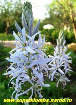 КАМАССИЯ КУЗИКА (Camassia cusickii)  высота с цветоносами до 1 м, цветет в июне нежно-голубыми цветами собранными в плотный колос до 30 см высотой.  ЦЕНА 100 руб (1 шт)