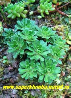 ПРОЛОМНИК МОЛОДИЛОВИДНЫЙ (Androsace sempervivoides) , Формирует куртинки 1-5 см высотой. Гладкие, темно-зеленые, реснитчатые листья формируют небольшие розетки диаметром 3-4см . Цветет в июне. , Предпочитает полутень и достаточно влажную почву. ЦЕНА 200 руб (3-4 шт)