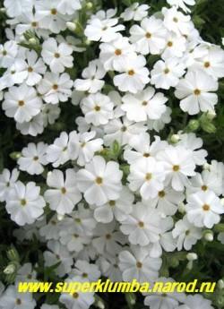 """ФЛОКС ШИЛОВИДНЫЙ """"Майшнее"""" (Phlox subulata """"Maischnee"""") Вечнозелёные ковры толщиной 5-10 см, чисто белые   округлой формы цветы, диаметр цветка около 2 см, высота до 10см, цветет с середины мая около 30 дней ЦЕНА  200-250 руб  (1 кустик)"""