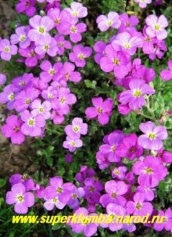 """ОБРИЕТА КУЛЬТУРНАЯ """"малиновая"""" (Aubrieta х cultorum) , яркий ковер из малиновых цветов на стелющихся стеблях, листья серо-зеленые зимующие, предпочитает яркое солнце, высота 10-12 см, цветет май-июнь, НЕТ  В ПРОДАЖЕ"""