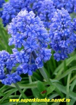 """МУСКАРИ АРМЯНСКИЙ """"Блу Спайк"""" (Muscari armeniacum ''Blue Spike''), ароматные цветы могут использоваться для срезки. ЦЕНА 150 руб (4 шт)"""