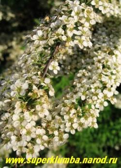 СПИРЕЯ СЕРАЯ (Spiraea x cinerea)  высота до 1 м, красиво ниспадающие тонкие побеги сплошь унизанные цветами, Кустарник очень декоративен благодаря множеству белоснежных соцветий, компактности куста и аркообразным поникающим ветвям. цветет в мае, ЦЕНА 300-500 руб (3-6 летки)
