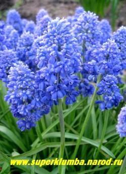 """МУСКАРИ АРМЯНСКИЙ """"Блу Спайк"""" (Muscari armeniacum ''Blue Spike'') очаровательный сорт с цветами собранными в сложные многоцветковые кисти составляющие пышные кружевные соцветия, высота 10-15см, цветет в конце мая 20-22 дней, ЦЕНА 150 руб (4 шт)"""