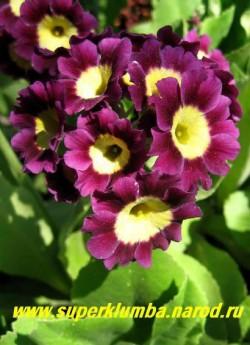 """Примула ушковая """"СВЕКОЛЬНАЯ"""" (Primula аuricula) свекольная крупноцветковая с лимонной серединкой, с ароматом, высота до 15см, цветет май-июнь, ЦЕНА 250 руб (штука)"""
