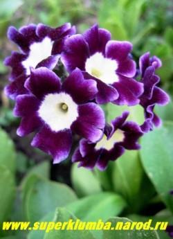 """Примула ушковая """"ФИОЛЕТОВАЯ №2"""" (Primula аuricula) фиолетовая с лимонно-белой серединкой и белой каймой, с ароматом, высота до 15см, цветет май-июнь, ЦЕНА 250 руб (штука)"""