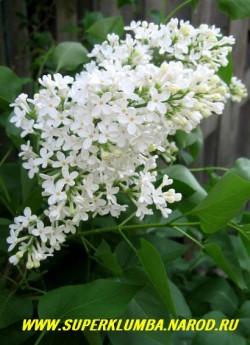 """СИРЕНЬ ОБЫКНОВЕННАЯ """"БЕЛАЯ"""" (Syringa vulgaris alba)  чисто белые душистые соцветия, высота до 3 м, цветет май-июнь, ЦЕНА 250-350 руб (3-4 летки)"""
